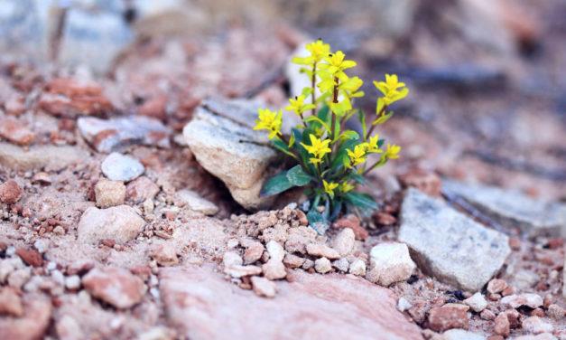 Na aridez cresce a flor do verdadeiro amor