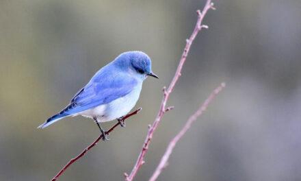 O pássaro que não voa