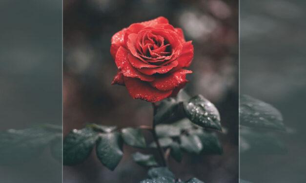 A rosa do bom Deus…